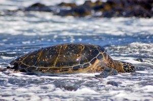 Maui green sea turtle